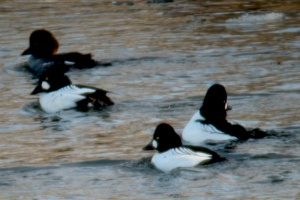 Common Goldeneye ducks in a group of 3 males and one female.