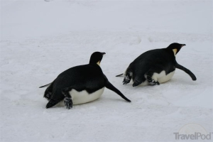 Penguins sometimes use their bellies to slide across the ice.