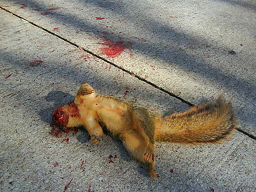 squirrel-dead