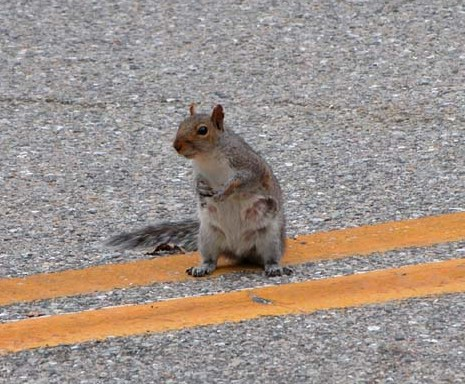squirrel-on-the-road