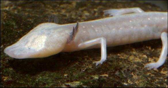tx-blind-salamander-picture-1