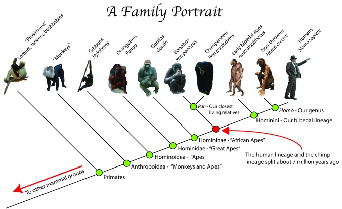 ape-family-tree-a-family-portrait-pasttime-org-episode-5-throwing-in-human-evolution.jpg