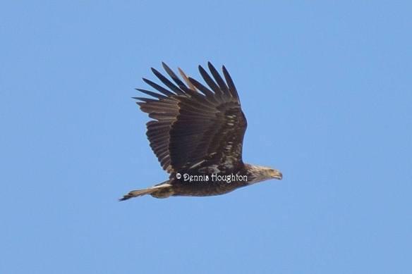 Bald Eagle 3rd year
