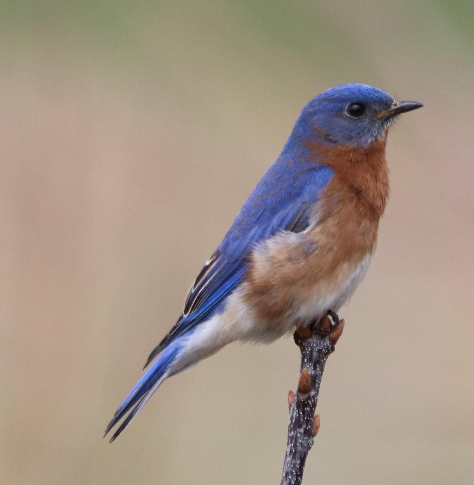 Bluebird 4