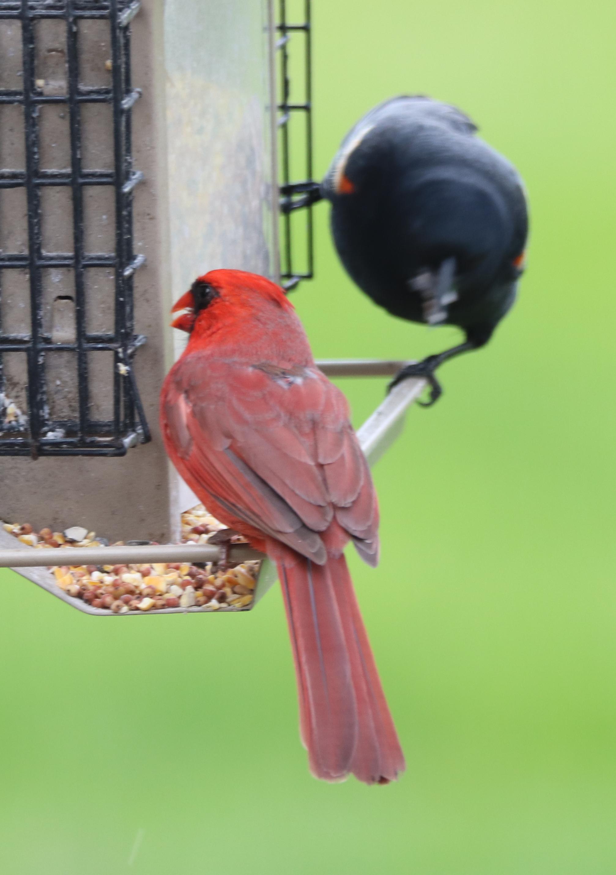 Cardinal and Evil