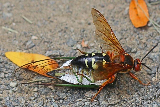 Cicada killer